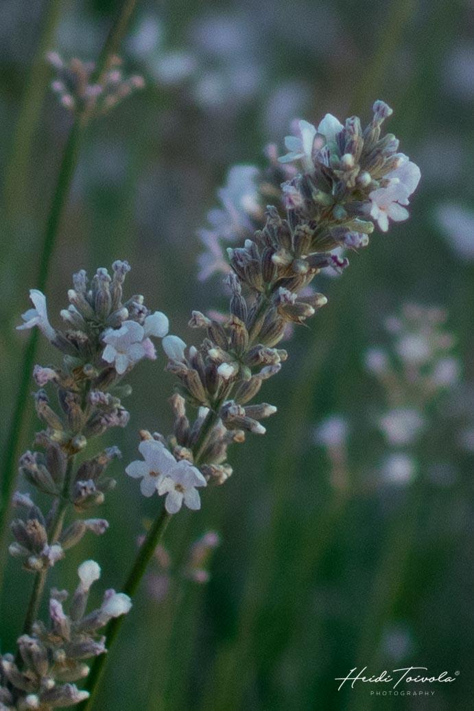 White Lavender-5