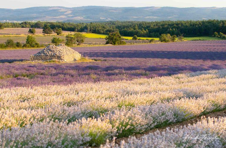 White Lavender-6