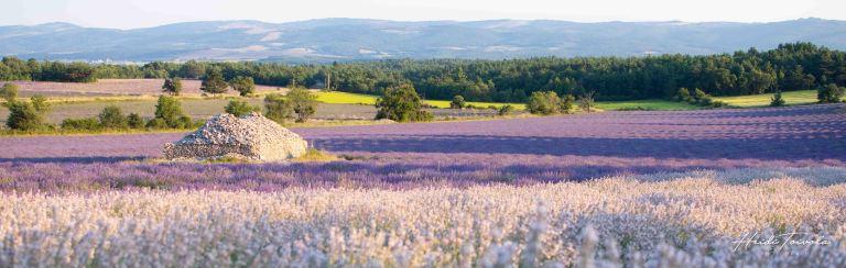 White Lavender-8